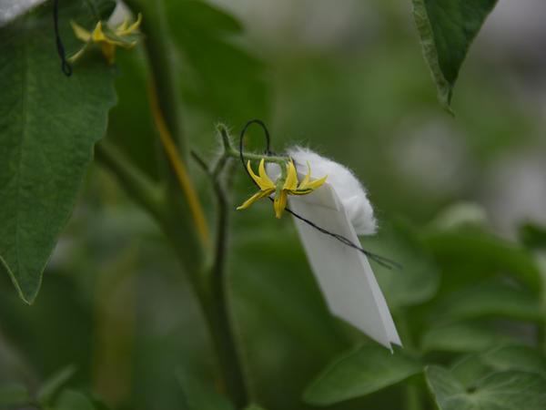 Опыленные цветки изолируют ватной полоской, стараясь не повредить пестик