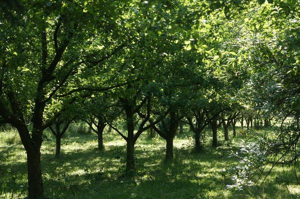Как быть, если деревья в доставшемся по наследству саду посажены рядами?