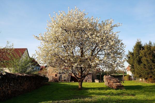 Старые яблони украшают многие сады