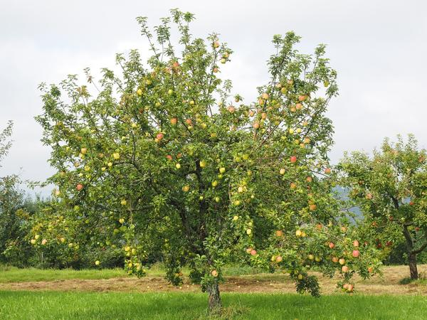 Яблоня - символ русского сада