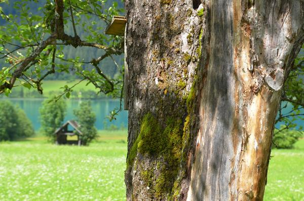 У каждого дерева - свой срок жизни, и однажды он все-таки заканчивается...