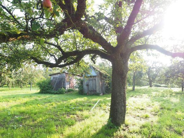 Яблоня одинаково эффектна и у дома с колоннами, и у покосившейся избушки