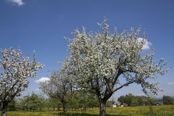 Старая яблоня - не просто дерево. Это память...