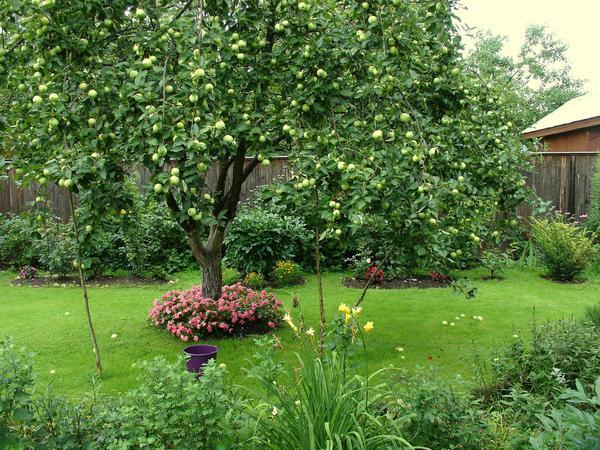 К посадкам под яблоней нужно относиться осторожнее