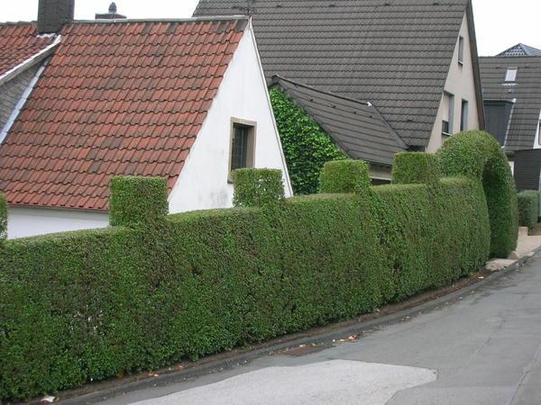 Даже живая изгородь подчиняется строгим нормам и правилам