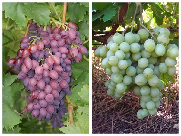 Сорта винограда 'Кишмиш лучистый' и 'Талисман'
