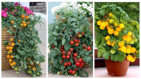 Томаты для домашнего огорода: сорта 'Золотая гроздь', 'Рябиновые бусы', 'Желтая Шапочка'