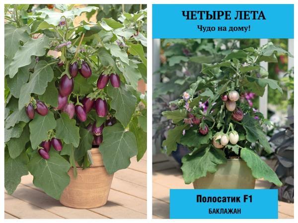 Баклажаны для домашнего огорода: 'Медальон' и 'Полосатик' F1