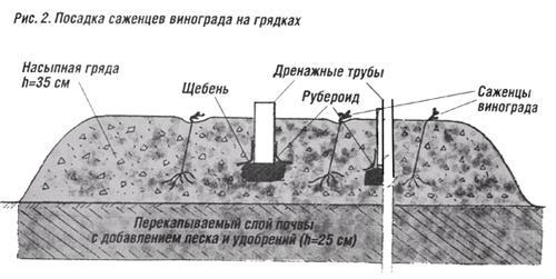 Рис.2 - схема посадки винограда на гряды