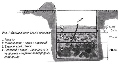 Рис.1 - схема посадки винограда в траншею