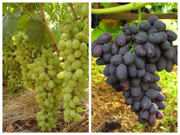 Сорта винограда 'Лора' и 'Кодрянка'
