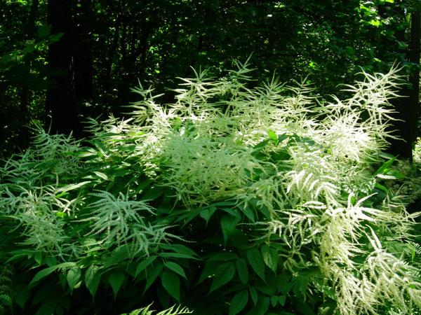 Волжанка декоративна за счет ажурных перистых листьев и пышных метельчатых соцветий