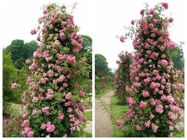 Увитые розами обелиски и пирамидки должны быть высокими, чтобы выглядеть эффектно