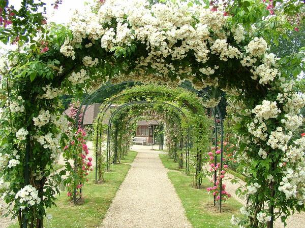 Арки - широко известная и популярная опора для роз