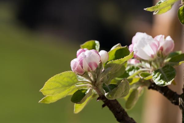 Позднее цветение от заморозков не спасает