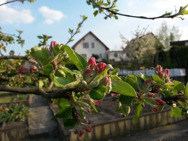 Плодовые деревья распускаются под влиянием атмосферного тепла и яркого весеннего солнца