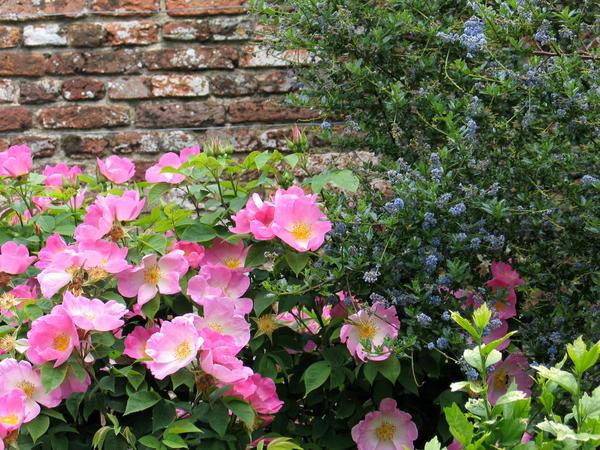 По цвету с розами хорошо сочетаются растения сине-голубой и фиолетовой гаммы
