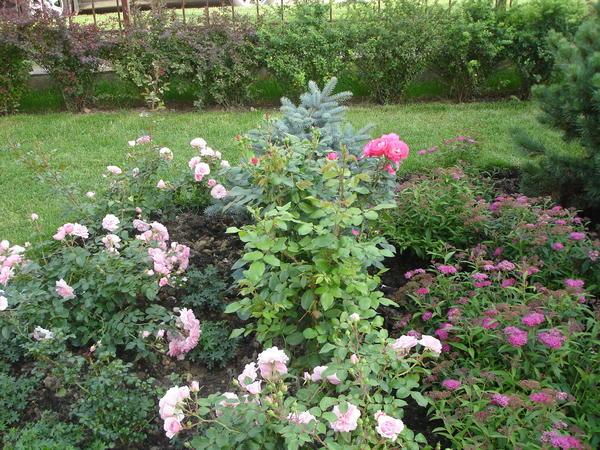В розарии уместны невысокие кустарники