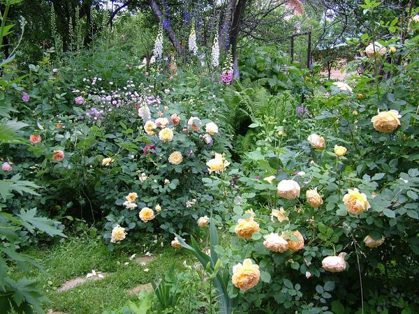 Розы хорошо сочетаются с вертикальными соцветиями дельфиниумов, наперстянок