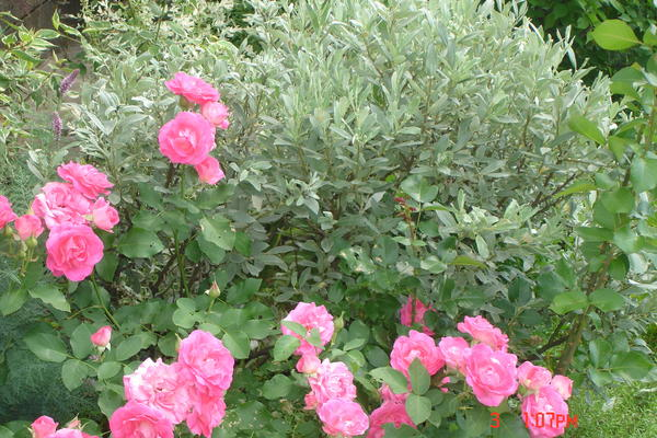 Актуальна посадка роз с карликовыми видам ивы