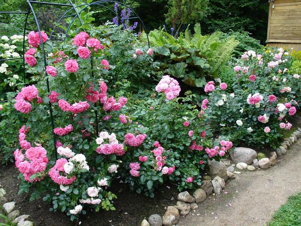 В наших садах предпочтительно высаживать розы большими группами