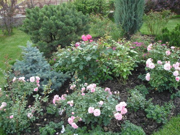Розы в композиции с хвойными выглядят очень современно