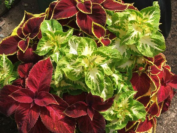 Колеусы. Такой яркости красок у многолетних декоративно-лиственных растений не найти
