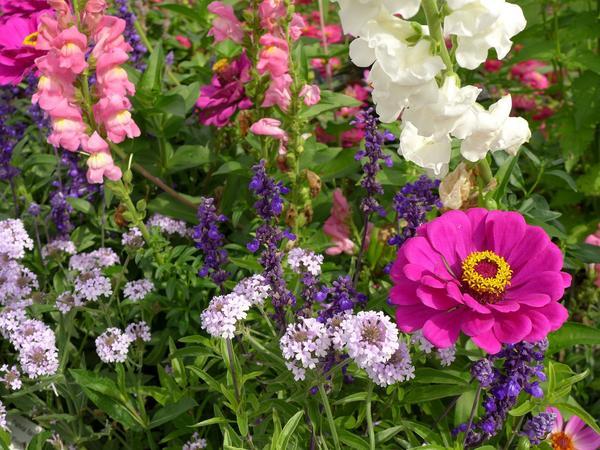 Без однолетних растений полноценную цветочную мозаику не собрать