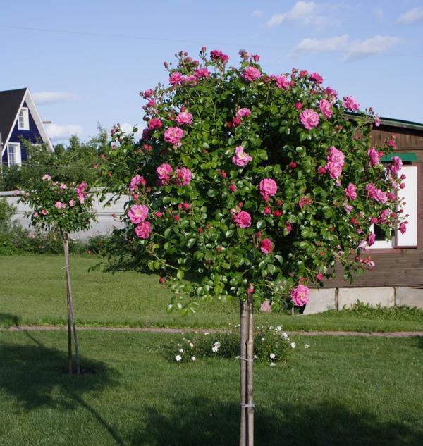 Штамбовые розы нуждаются в прочной опоре