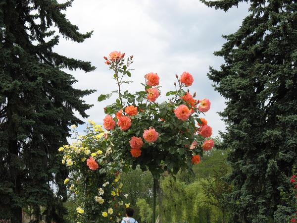 Штамбовые розы - эффектная демонстрация красоты