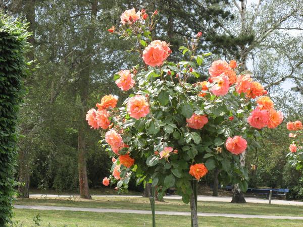 При уходе за штамбовыми розами особое внимание уделяется обрезке