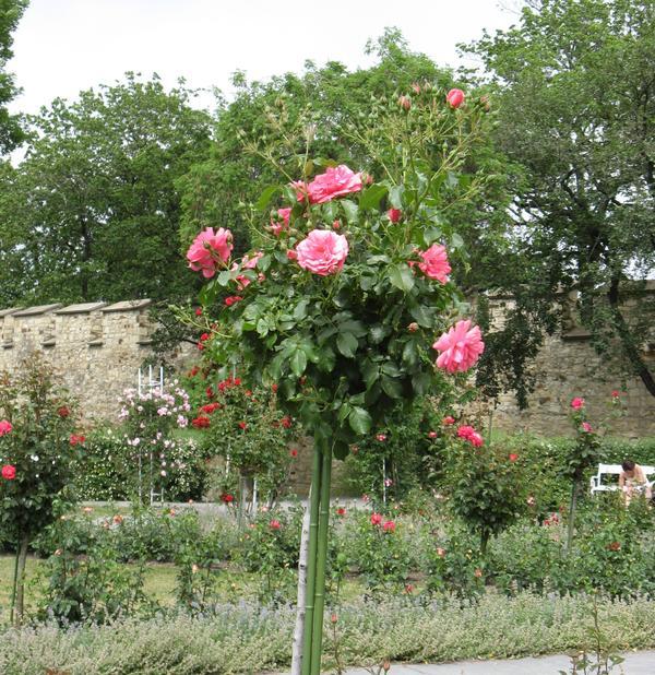 Штамбовую розу вам по силам вырастить самостоятельно