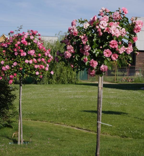 Выращивание штамбовых роз - дело непростое, но очень интересное