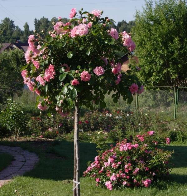 К выбору саженца штамбовой розы нужно подходить очень внимательно