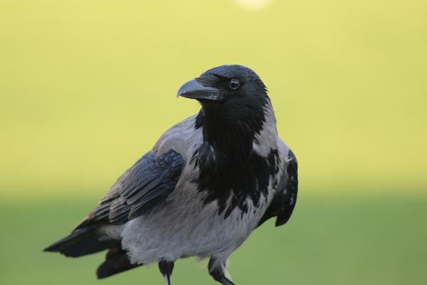 Ворона - очень умная птица, поэтому бороться с ней сложно
