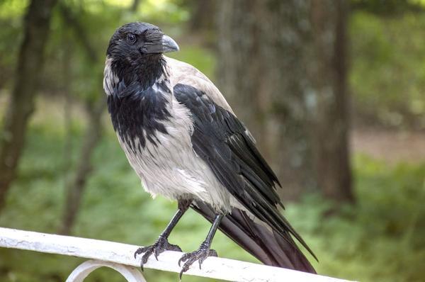 Для садовода вороны могут стать настоящим бедствием