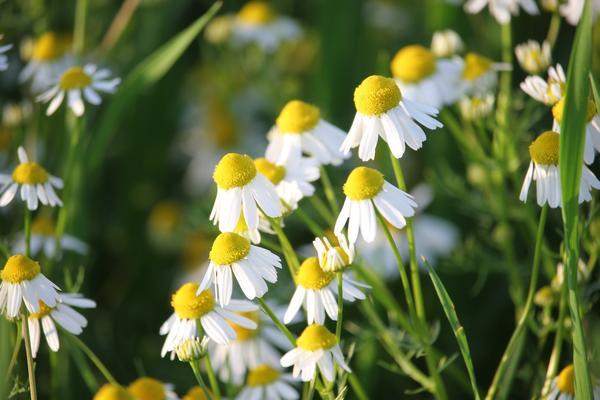 Ромашка аптечная - одно из наиболее популярных и распространенных лекарственных растений