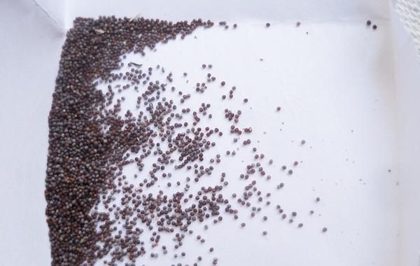 Семена петунии (сильно увеличено!)