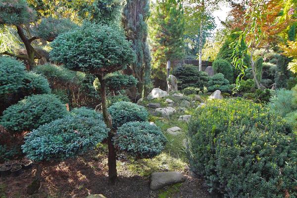 Садовый бонсай, в отличие от канонического, может иметь произвольные размеры. Фото автора