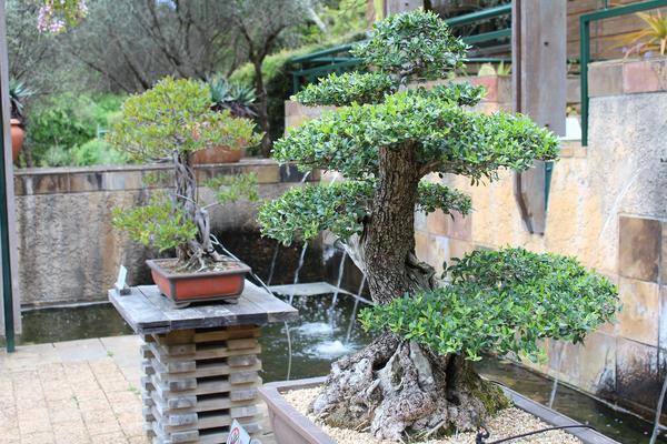 Бонсай - древнее искусство Японии