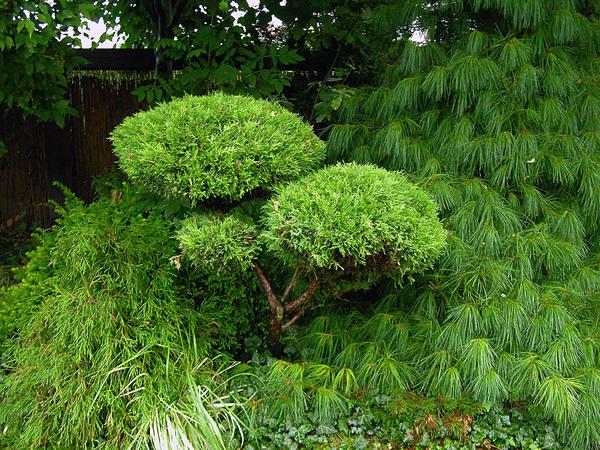 Садовый бонсай можно сформировать не только из сосен, но и из других хвойных. Фото автора