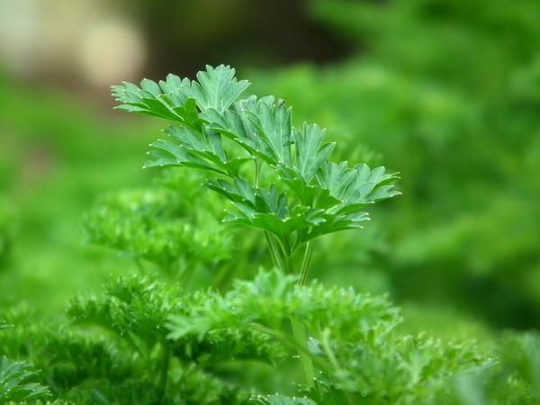 Петрушка - не только приправа, но и лекарственное растение