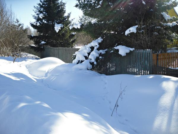 Елки освобождаются из снежного плена