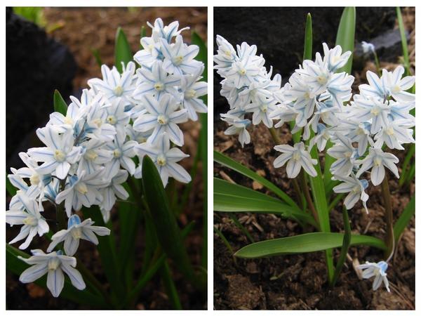 Пушкиния. Этот цветок редко встречается в наших садах