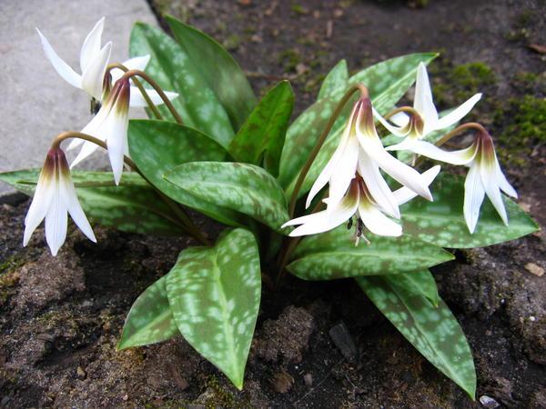 Кандык, или эритрониум, привлекателен не только цветками, но и листьями. Кандык европейский 'White Splendor'