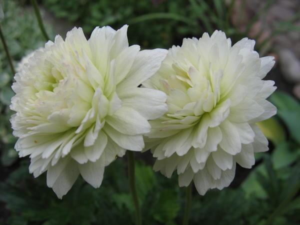 Anemone sylvestris f.flore pleno