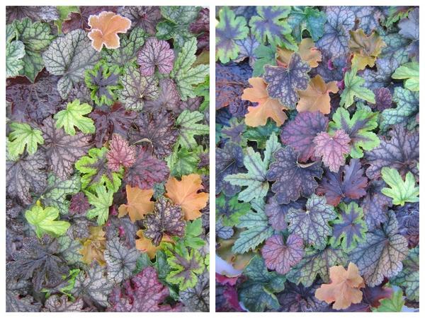 Краски листвы современных сортов и гибридов гейхеры поражают воображение