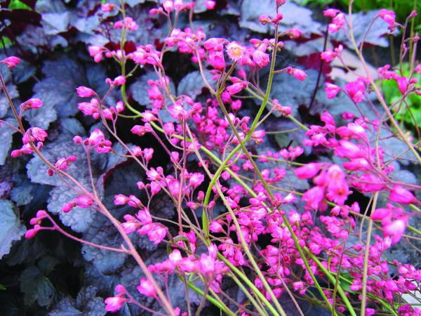 Гейхера кроваво-красная (Heuchera sanguinea)