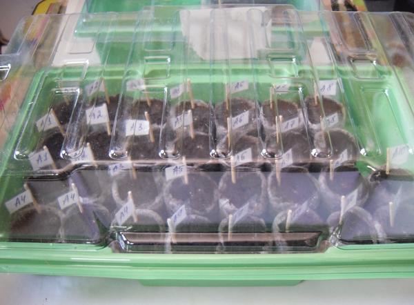 Все посевы размещаются в микропарниках при комнатной температуре и обычном освещении