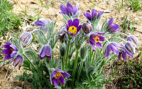 Сроки цветения прострела зависят от его видовой принадлежности